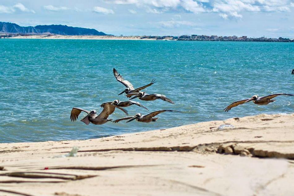 San Felipe Pelicans Flying over water